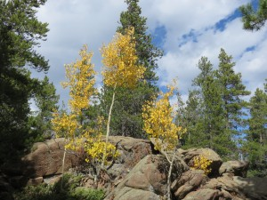 A few lonely aspens near Nederland, CO.